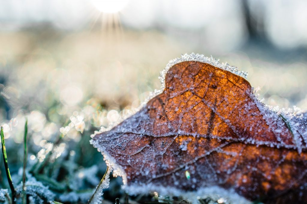 Leaf covered in frost in winter garden